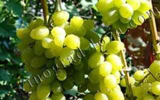 Описание сорта винограда лора