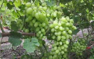 Раннеспелый сорт винограда продюсер