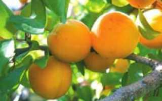 Характеристика абрикоса виды строение применение