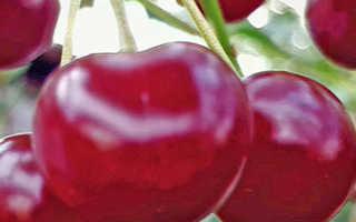 Выращивание вишни свердловчанка