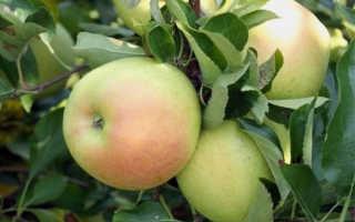 Яблоня чудное описание и характеристики сорта выращивание и уход фото