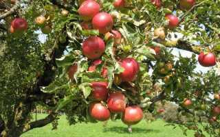 Выращивание яблони елена