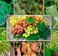 Болезни и вредители винограда лечение описание фотовидео