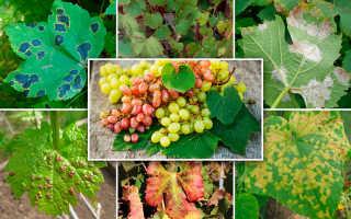 Виды болезней винограда