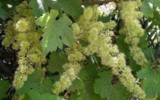 Нормирование побегов на винограде