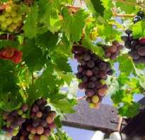 Подкормка и удобрение винограда весной