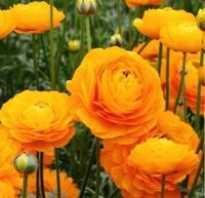 Ранункулюс цветок похожий на розу