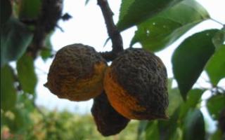 Причина гниения абрикосов