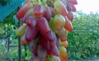 Описание винограда дамасская роза