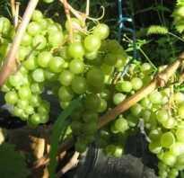 Виноград краса севера сорт для мест с холодными зимами