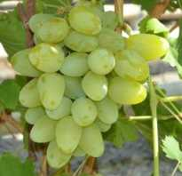 Характеристика винограда имени бажена