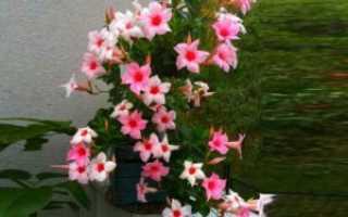 Дипладения dipladenia комнатный цветок с красными или желтыми соцветиями