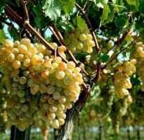Как черенковать виноград осенью