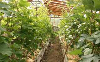 Правила выращивания винограда в теплице из поликарбоната
