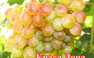 Краса дона сорт раннего винограда
