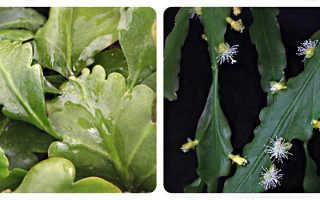 Виды кактуса рипсалис