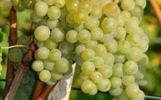 Описание сорта винограда бианка