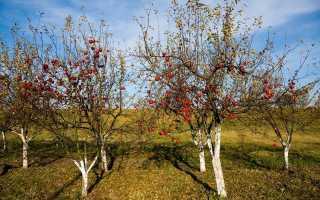 Подкормка яблонь осенью удобрениями