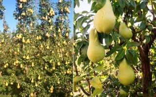 Груша аббат описание и характеристика сорта выращивание посадка и уход