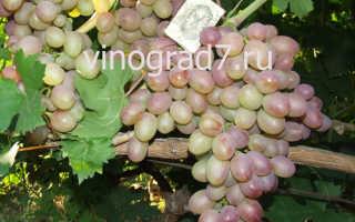 Рута гибридный сорт винограда