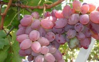 Какие сорта винограда самые лучшие