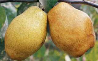 Дюшес английская груша в вашем саду
