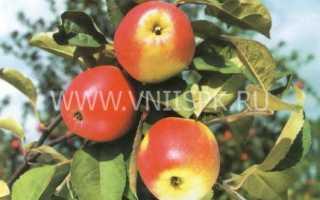 Характеристика и описание яблони сорта пепин шафранный посадка и уход