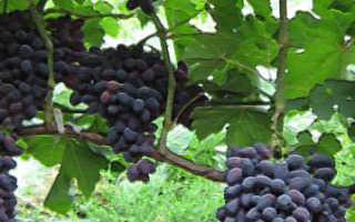 Выращивание винограда атос