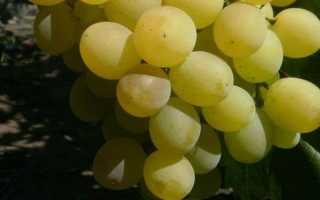 Условия выращивания винограда маэстро