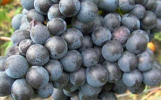 Бессемянный черный зимостойкий виноград памяти домбковской