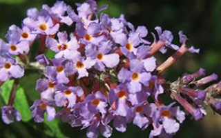 Цветы буддлея украсят любой сад от посадки до срезки