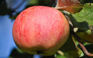 Сорт яблони штрейфлинг
