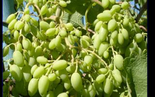 Как подготовить виноград к цветению