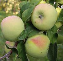 Выращивание яблони мартовское