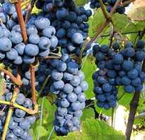Виноград смоленский прорыв описание сорта