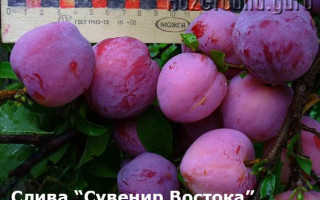 Особенности выращивания сливы сувенир востока