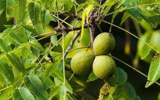 Дерево черный орех