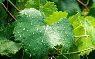Особенности полива винограда