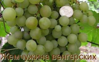 Описание винограда жемчуг сабо