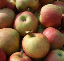 Сорт яблок чемпион характеристика