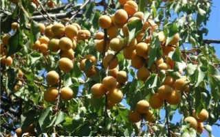 Как появился абрикос хабаровский