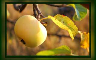 Уход за яблоней после сбора урожая осенью