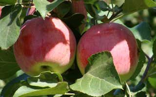 Яблоня орловское полосатое описание сорта