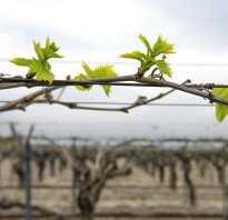 Распускание первых почек винограда правила раскрытия растения