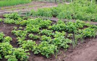 Сроки посадки клубники осенью