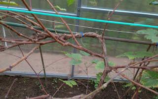 Как заготовить черенки винограда осенью