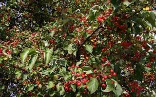 Яблоня ягодная описание
