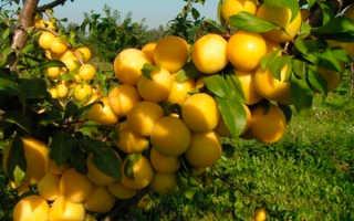 Описание лучших сортов желтой сливы