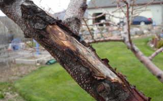 Кора у яблони отходит от ствола
