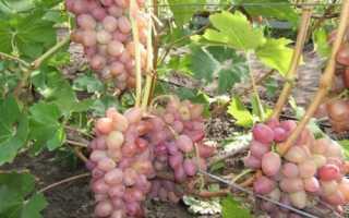 Виноград липлявка особенности сорта